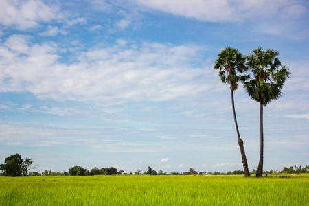 Rice fields of Thailand Stock Photo - 15324040