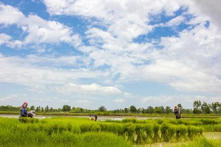 Season rice farmers Stock Photo - 17185925