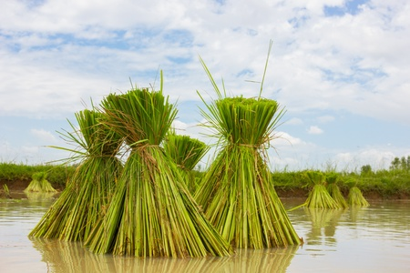 Season rice farmers