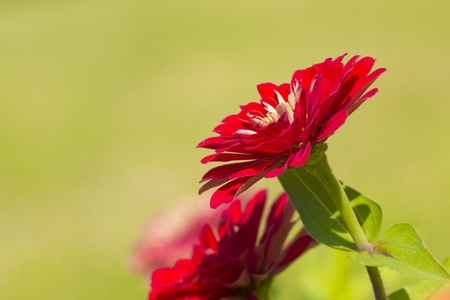 cav: Zinnia Violacea Cav Flower