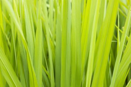 derivation: Rice fields