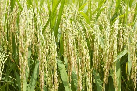 derivation: Grains of rice near harvest