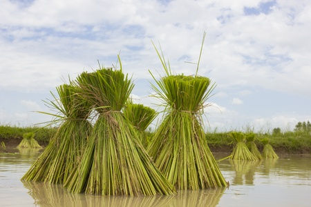derivation: Season rice farmers