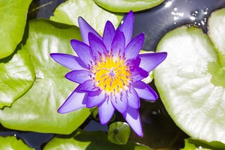 folwer: Lotus folwer in a basin