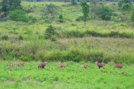 hog: Hog deer on field