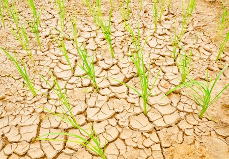 Rice growing on drought field