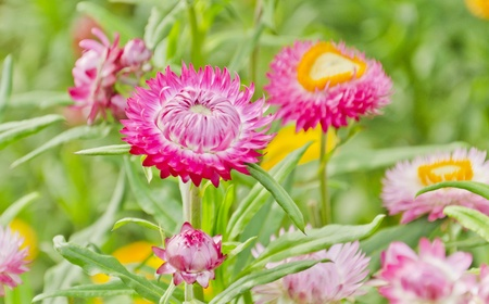everlasting: Everlasting, Helichrysum bracteatum, colorful flower is on the hill Stock Photo