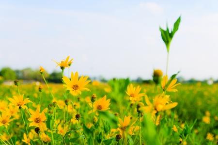 Aardpeer, Sunchoke in de tuin Stockfoto