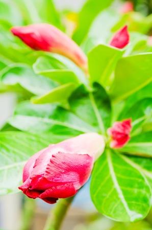 adenium obesum balf: Desert Rose; Impala Lily; Mock Azalea, Adenium obesum Balf  Stock Photo