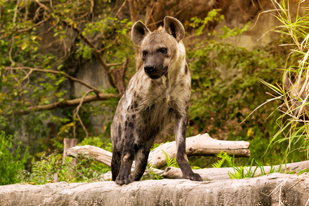 hyena: The spoted hyena. Crocuta crocuta