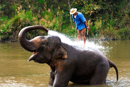 handler: Big elephant bathing in the river and spraying himself with water, guided by their handler