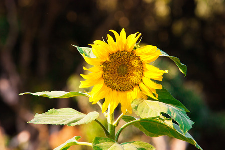 Wild Bright Sunflower backlit by setting sun photo