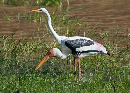 Painted stork and Heron in Sri Lanka National Park.