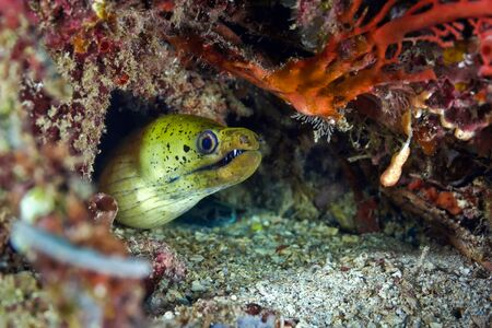 Moray eel poked out of the hole waiting for prey