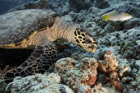 Turtle is looking for food in coral. Underwater photography