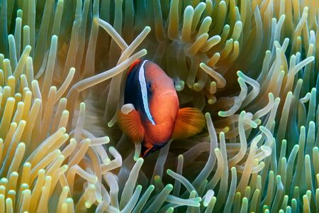 The clown fish is hiding in its anemone. Underwater photography, Philippines.