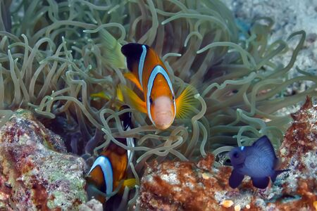 Family of clown fish swimming in its anemone. Underwater photography