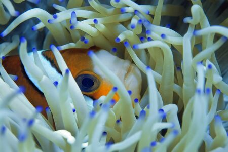 A bright orange clown fish is hiding in its anemone. A light anemone with blue tips is its home and protection from enemies. Underwater photography, Philippines. Stockfoto