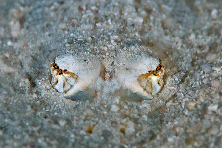 Close-up of a Blue spotted Stingray buried in the sand waiting for prey. Only the eyes are visibles. Philippines.