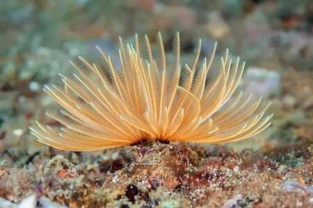 The sea worm is like an underwater flower when it spreads its tentacles. In this photo, it is a delicate peach color.