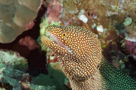 The Moray eel leaned out of its hole with its mouth open, waiting for its prey to pass by. The body of the Moray eel is light brown, a white mouth and bright yellow eyes.