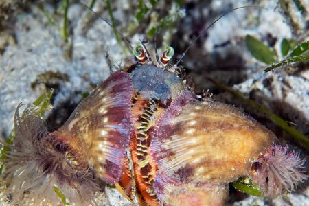 A hermit crab (Dardanus sp.) has a symbiotic relationship with anemones (Calliactis polypus) that provide camouflage and protection. The crab and anemones share food items.