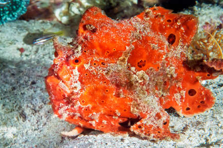 The red frog crawls slowly along the sea floor with its fin-like legs. Underwater photography, Philippines.