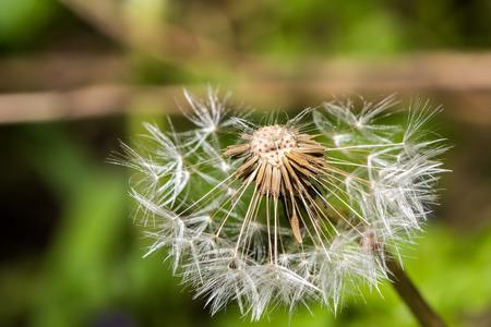 blowball: dandelion blowball seeds