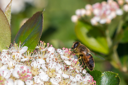 Bee on aronia melanocarpa flower Stock Photo