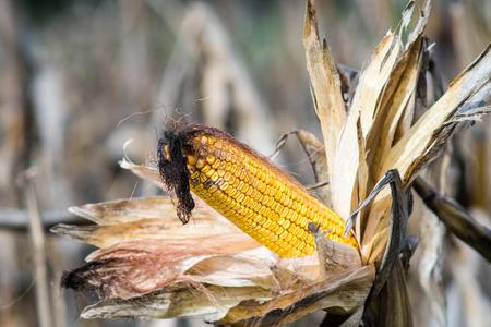 トウモロコシまたはトウモロコシの収穫の準備ができての幹の熟した耳。トウモロコシ。農業の概念。
