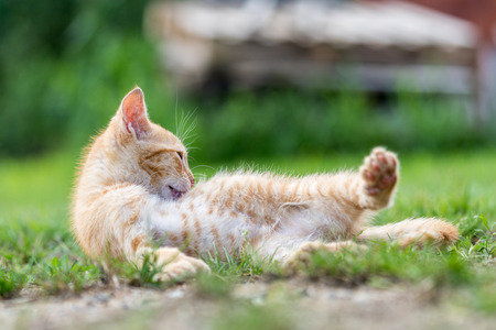 Little young red kitten lie down and relax on the grass. 版權商用圖片