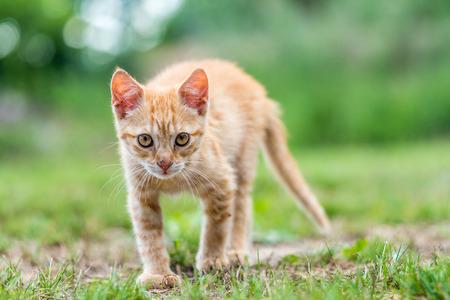 Kitten standing on the grass. 版權商用圖片
