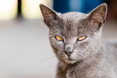 Closeup head portrait of gray domestic cat. Shallow depth of field.