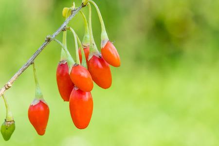 Goji berry, or wolfberry. Ripe berries on the twig. Anti aging fruit. Closeup.  Lycium barbarum or Lycium chinense. Standard-Bild - 107025737