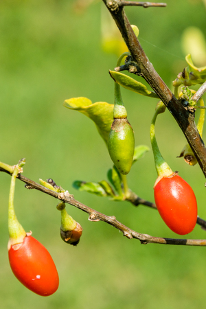 Goji berry, or wolfberry. Ripe berries on the twig. Anti aging fruit. Lycium chinense. Standard-Bild