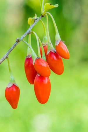 Goji berry, or wolfberry. Ripe berries on the twig. Anti aging fruit. Closeup.  Lycium barbarum or Lycium chinense.