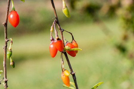 Goji berry, or wolfberry. Ripe berries on the branch. Closeup.  Lycium barbarum or Lycium chinense. Standard-Bild
