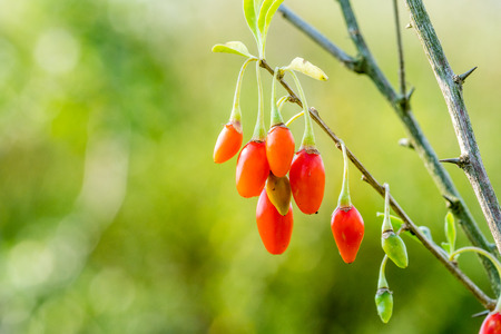 Goji berry, or wolfberry. Ripe berries on the branch. Anti aging fruit. Closeup.  Lycium barbarum or Lycium chinense.