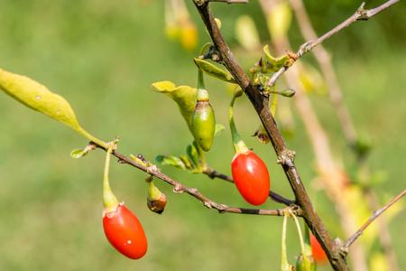 Goji berry, or wolfberry. Ripe berries on the branch. Closeup.  Lycium barbarum or Lycium chinense. Standard-Bild