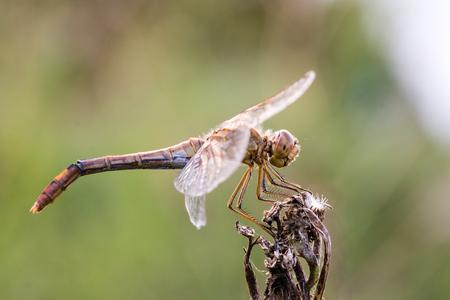 Dragonfly insect, closeup side view. Sympetrum flaveolum 版權商用圖片