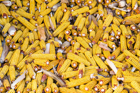 Pile of ripe ear of corn after harvest. Zea mays. Agricultural concept. Background or texture.
