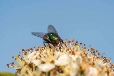 Common greenbottle fly or Lucilia caesar. Feed on flower