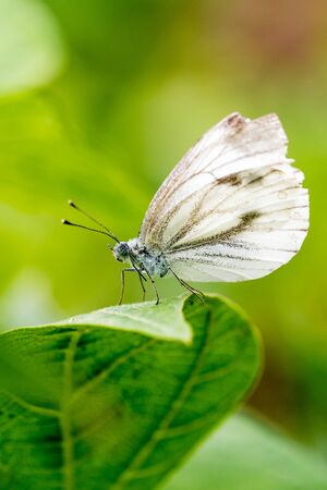 Small cabbage white butterfly or Pieris rapae standing on the leaf.