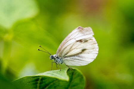 Small white butterfly or Pieris rapae standing on the leaf.