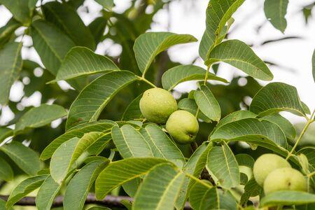 Green common walnuts on the branch. Juglans. 版權商用圖片