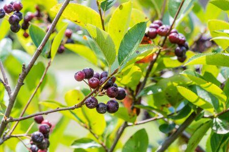 Black chokeberry ripening on branch. Aronia melanocarpa, closeup. 版權商用圖片
