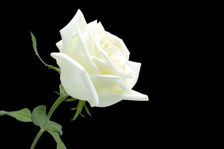 rosas blancas: Rosa blanca sobre fondo negro