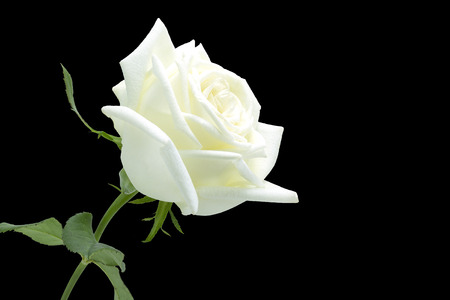 White Rose on black background