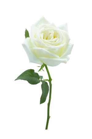 White Rose on white background 版權商用圖片