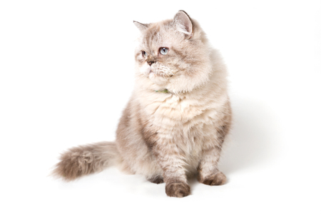 Persian Cat. white background